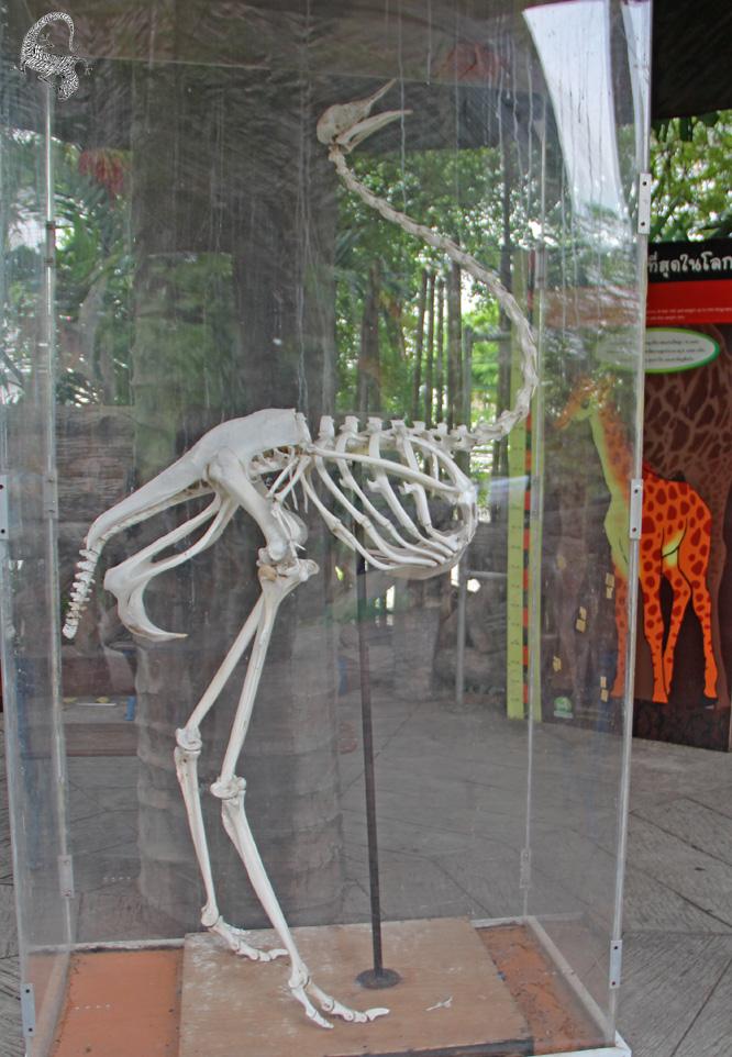 скелет страуса