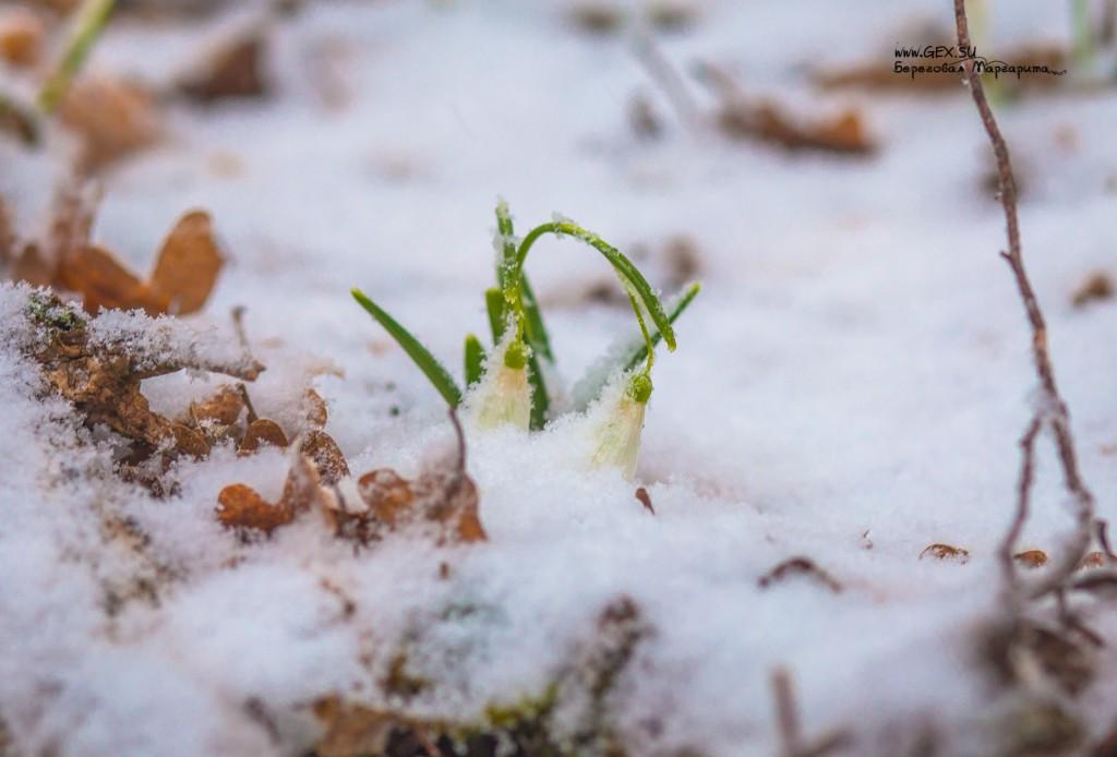 подснежники в снегу