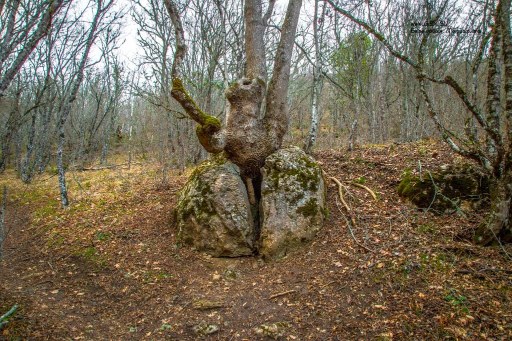 Дерево растущее через камень