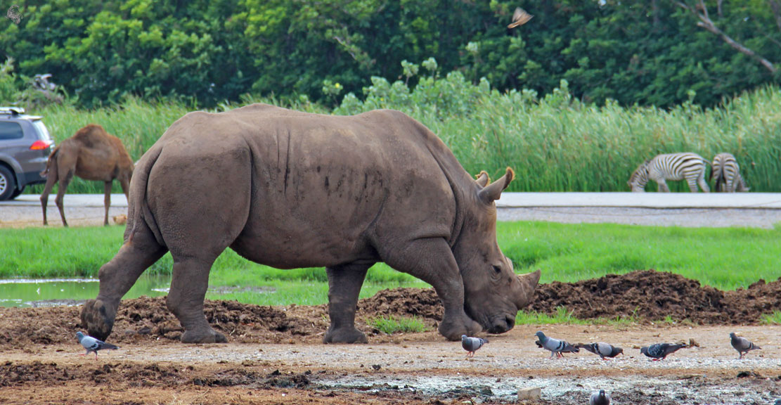 Носорог в Safari World