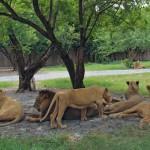 львы в сафари парке бангкока