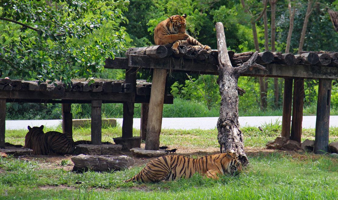 тигры в сафари парке бангкока