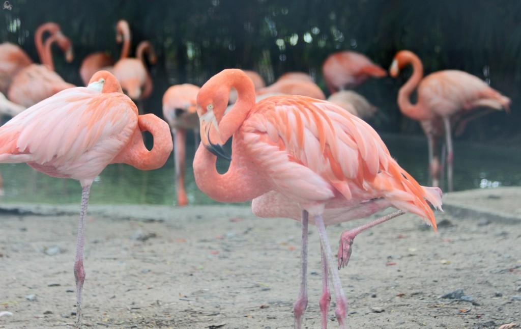 фламинго в сафари парке бангкока