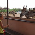 жирафы в сафари парке