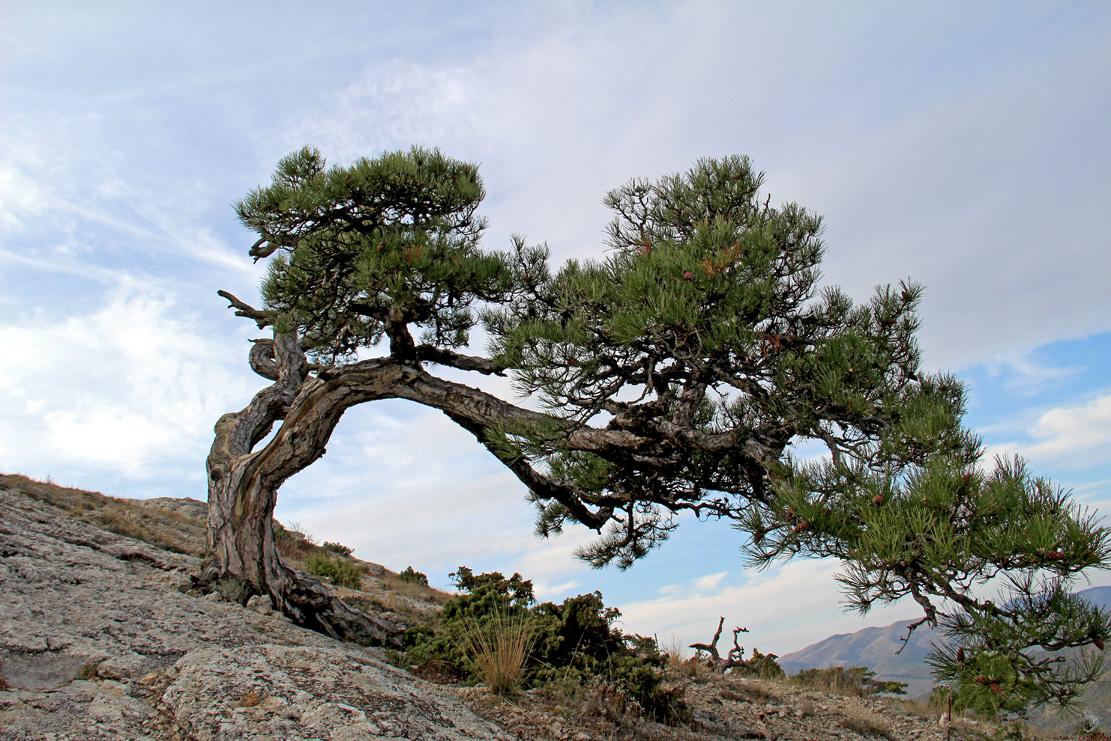 дерево на горе сокол