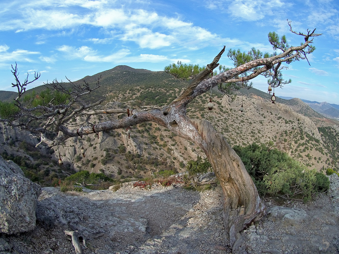 дерево с личками на горе сокол