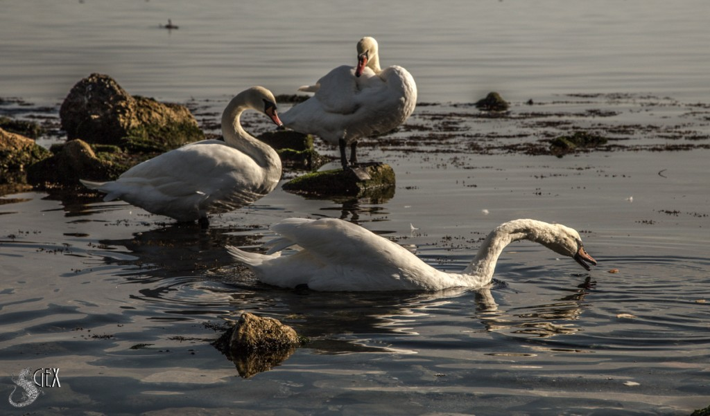 лебеди в феодосии