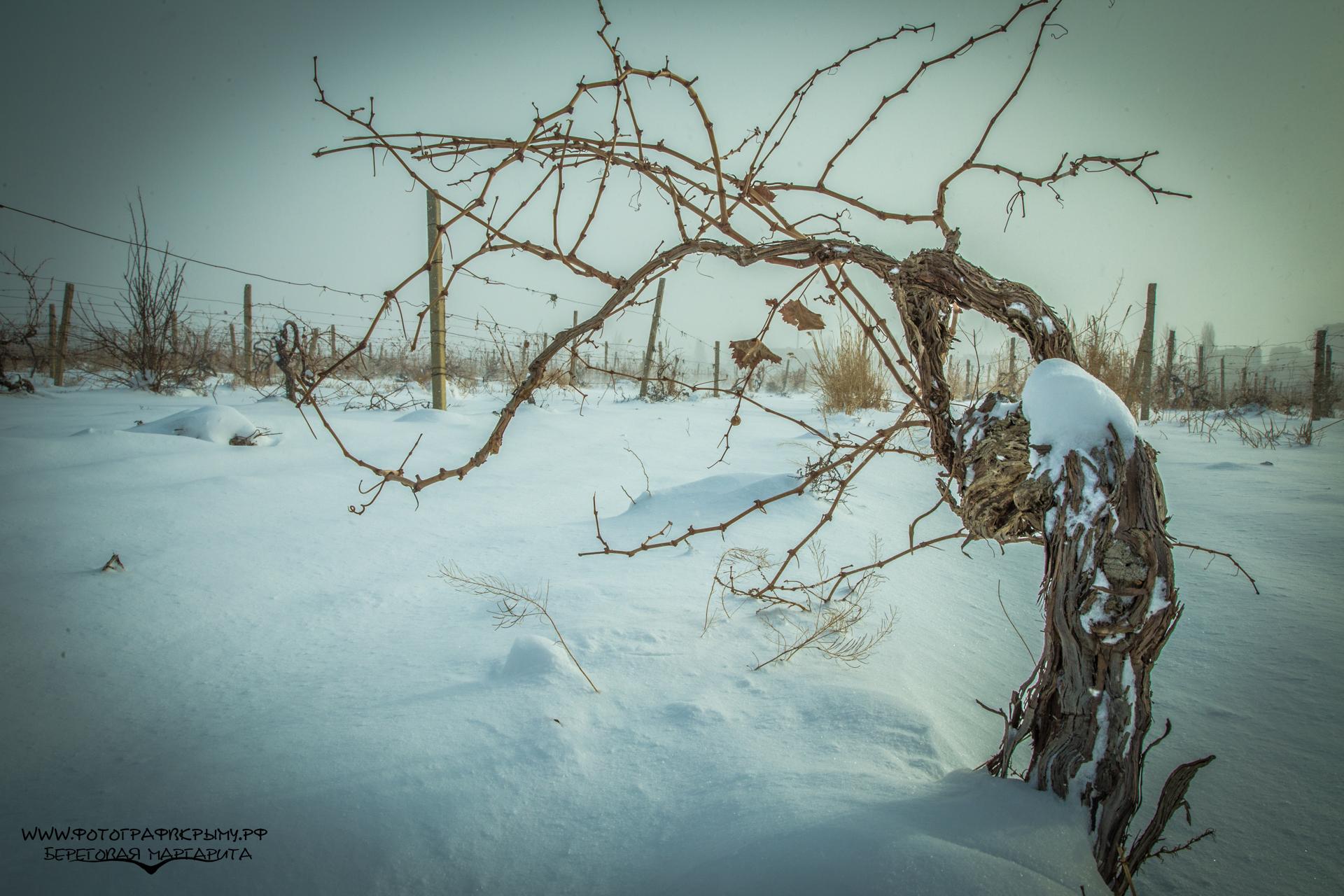 виноградная лоза зимой