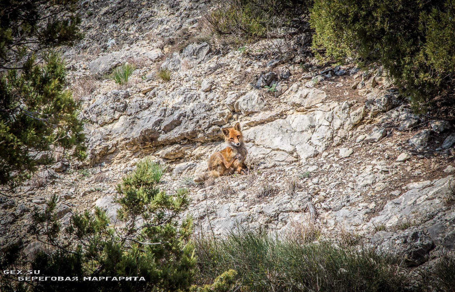 лисица на горе Алчак