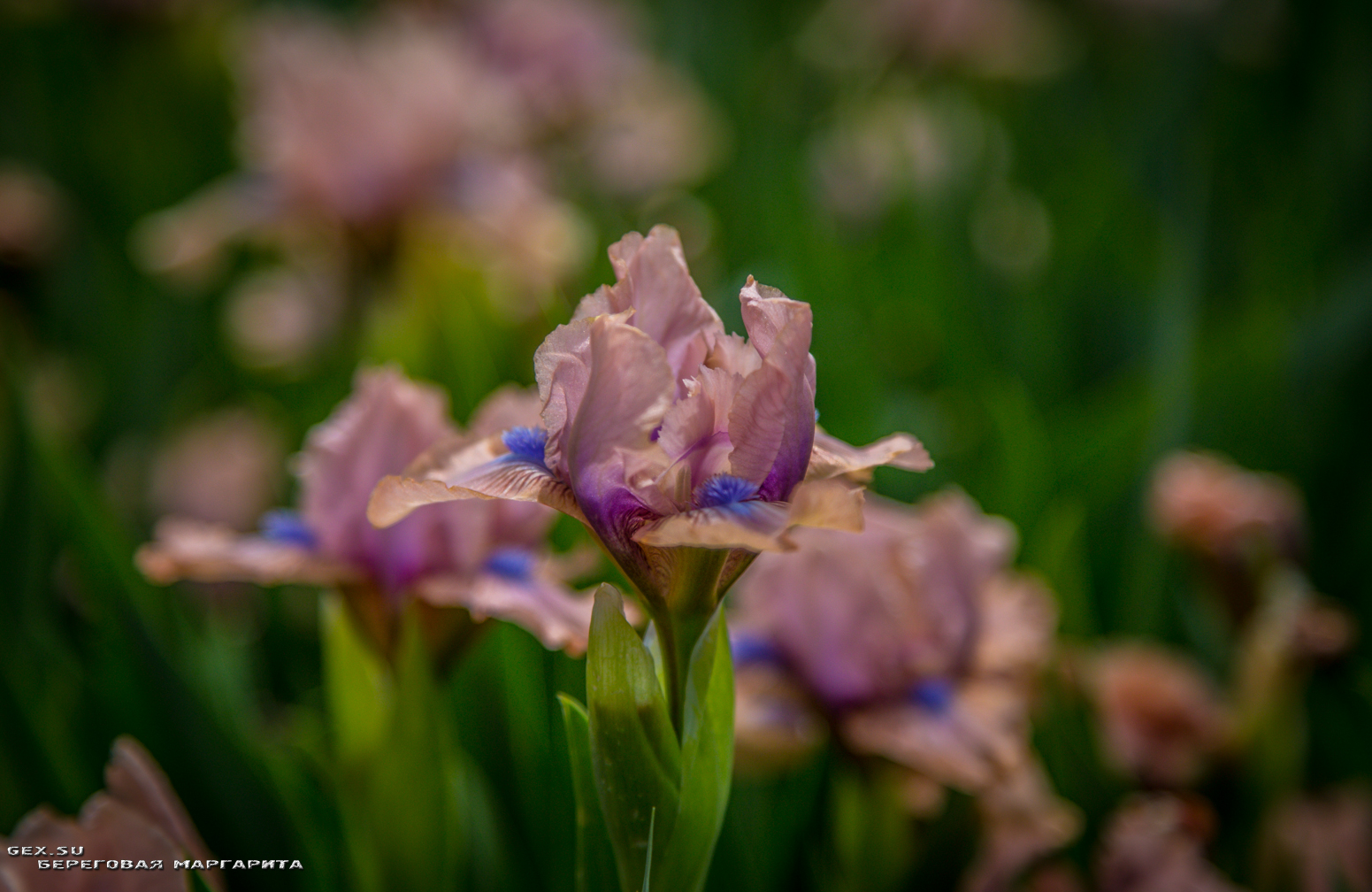 лиловый ирис