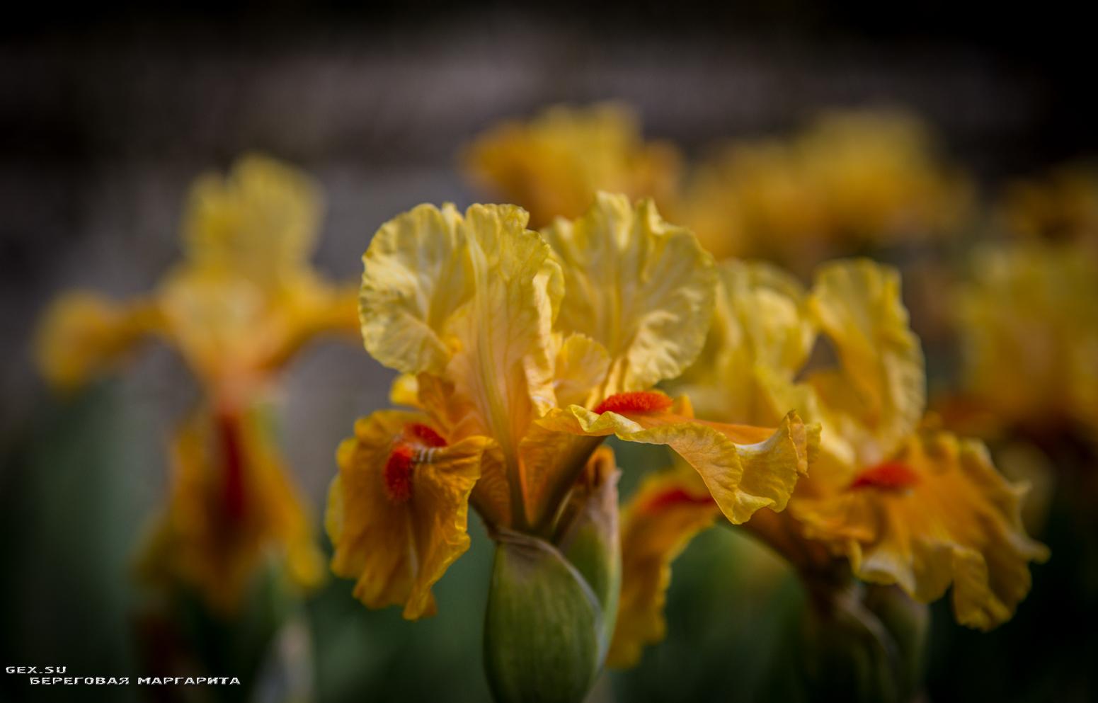 жёлтый ирис