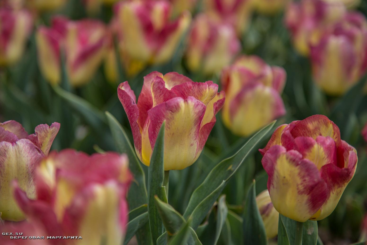 красно жёлтый тюльпан
