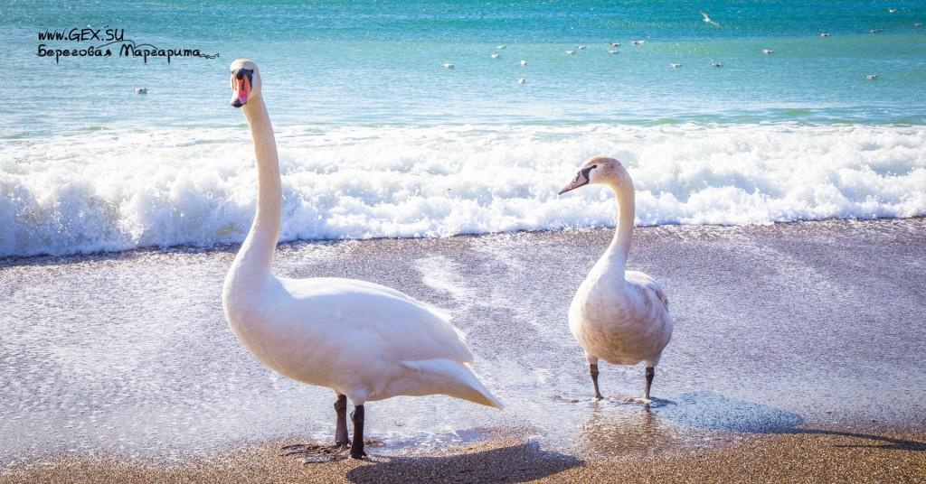 лебеди в судаке