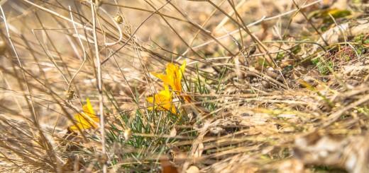 желтые крокусы в судаке