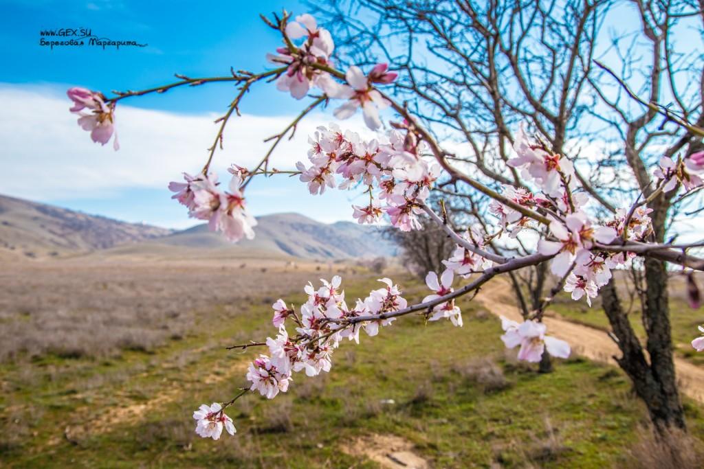 цветущий миндаль в крыму