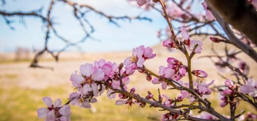 миндаль весной в судаке