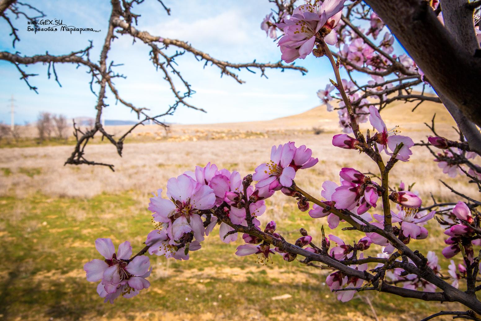 цветущий миндаль в судаке