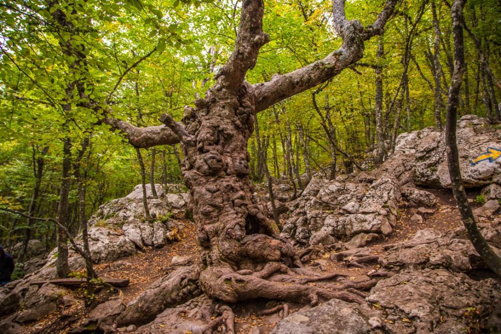 старое дерево на вершине Ай-Петри
