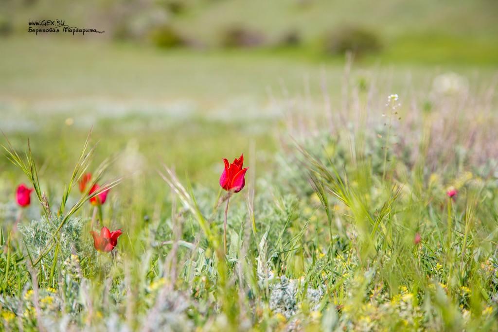 дикие тюльпаны